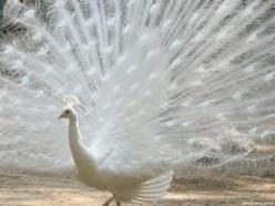 White: Peacocks, Animals, Nature, Beauty, Beautiful Birds, Photo, Albino Peacock, White Peacock