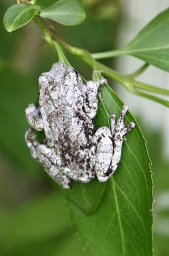 White Tree Frog: Ranas Frogs, Healthytreefrog Frogs, Amphibians Frogs, Amphibian Frogs, Treefrogs Healthytreefrog, Frog Treefrogs