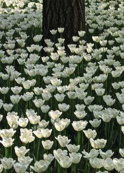 White Tulip Forest, China  Who wouldn't want to be in a bed of tulips? Slide a petal on your skin and then ask yourself that again :): Field, White Flower, Nature, White Garden, Beautiful Flowers, White Tulips, Spring