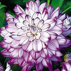 ✯ Who Done It Dahlia....: Dinner Plates, Dinnerplate Dahlia, Dahlias, Pretty Flowers, Beautiful Flowers, Garden