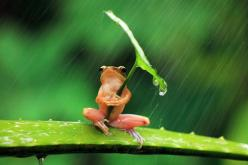 Who Invented the Umbrella: The Romans, the Chinese, or Frogs?: Animals, Umbrellas, Nature, Leave, Frogs, Photo, Rain