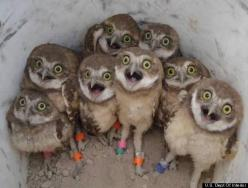 Whooo Could Resist These Owls?! Owl of us have something to be thankful for. Like being able to look at this picture of baby burrowing owls. www.huffingtonpost.com: Babies, Animals, Baby Owl, Funny, Burrowing Owls, Birds, Photo