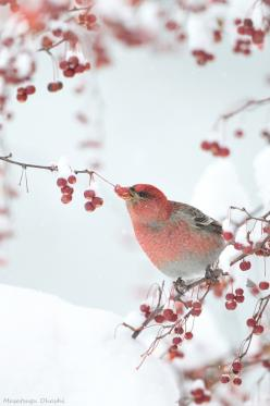 winter berries, bird with the glorious white backdrop...  www.liberatingdivineconsciousness.com: Winter Beauty, Winter Berries, Snow, Beautiful Birds, Winter Red, Animal