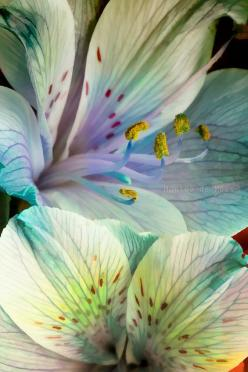 Wished this is the real colour but otherwise altroemerias are all pretty!: Colour, Pastel, Color, Alstroemeria Wallart, Beautiful Flowers, Pretty Flowers, Alstroemeria Flower, Garden, Photo
