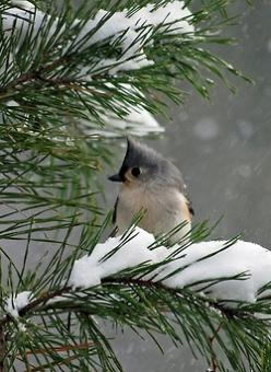 Wistfully Country.Pretty little bird. Please check out my website Thanks.  www.photopix.co.nz: Tufted Titmouse, Animals, Little Birds, Winter Wonderland, Beautiful Birds
