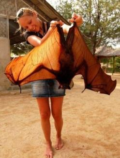 "woah. ""Flying fox""         Pteropus are the largest bats in the world.    A.K.A. Fruit Bats or Flying Foxes.    Australia looks like a very interesting place to visit; so many odd things are down there.: Animals, Giant Bat, Bats, Funny, Foxes"