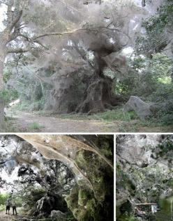 worlds-largest-communal spider-web spans over 600 ft, this is unusual because spider usually fight over territory and prey, preferring to eat their enemies and build independent nests, this has been built 3-4 times after rains destroyed it.: Spiders, Stat