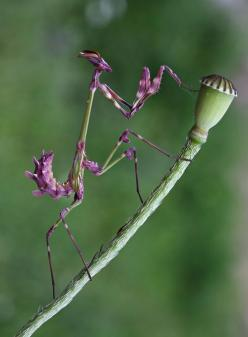 Wow!  Amazing colors!: Animals, Nature, Bugs, Beautiful, Creatures, Purple Praying, Insects, Praying Mantis