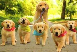 Wow! Look how productive this mom golden retriever is! If she can walk 5 babies on her own, you can do anything!!: Puppies, Animals, Walks, Dogs, Golden Retrievers, Family, Pets, Puppy, Golden Retriever