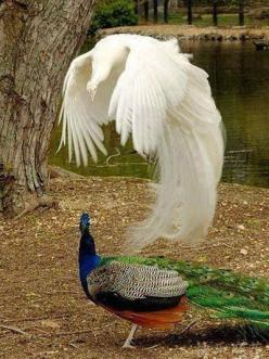 Wow! This looks like the normal colored peacock's soul floating above him or something... just stunning: Peacocks, Animals, Nature, Beautiful Birds, Photo, Albino Peacock, White Peacock, Beautiful Peacock