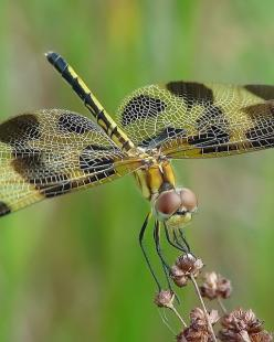 Yellow Dragonfly, We all living beings are made of the same energy and substance either mater or antimatter, therefore we have to respect life in all its disguises, don't support animal killing for meat and pollution, go vegan and green for all, NinaO