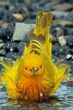 Yellow Warbler - A wonderful paint pallot that God has when he created Nature. And to think, there are colors in Heaven that we haven' seen yet.: Animals, Nature, Yellow Warbler, Beautiful Birds, Photo, Yellow Birds, Bath Time