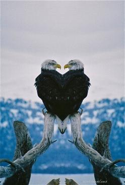 Yoga Eagle pose -- entwining the arms, held at the heart, aligned with the center, clear seeing, opening the back of the heart and releasing the burden held in the shoulders...: Animals, Nature, Things, Beautiful Birds, Bald Eagles, Photo