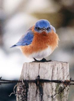 """You've probably seen this famous, """"grumpy"""" bluebird photo (called """"The Mad Bluebird""""), but do you know the story? This article from the Baltimore Sun (by Lisa Pollak, published January 4, 2000) called """"Out of the Blue"""" sheds so"""
