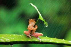You all seemed to really enjoy this spectacular photograph of a frog sheltering from the rain earlier, so here's a few more details.  The image was taken by Penkdix Palme in Jember, East Java, in Indonesia. According to the photographer the frog actua