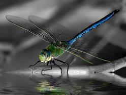 You are the one we have been waiting for. If there has ever been a time to release your greatness – it is now!: Color, Photo, Dragonflies, Animal