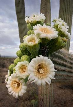 you could say it took these saguaro flowers hundreds of years to bloom: Cactus Succulents Garden, Cactus Flowers, Nature, Saguro Flowers, Plants, Beautiful Flowers, Saguaro Flower, Flowers, Cacti Succulents