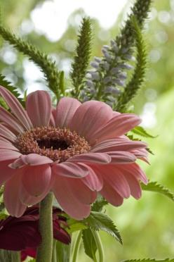 YOUTUBE CHANNEL:https://www.youtube.com/user/TheFederic777  FACEBOOK: https://www.facebook.com/GardenFlowers2015  http://tips-to-help-you-the-gerberas-2.blogspot.com/   #Video #gerberas #flowers: Pink Flower, Gerber Daisies, Gerbera Daisies, Gerbera Daisy