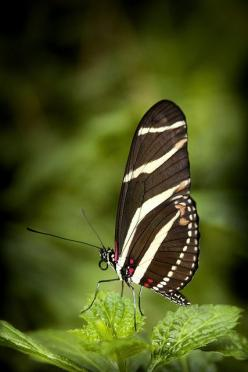 Zebra Longwing Butterfly, ready for anything. How's your New Year coming along? Are you ready for all the Goodness that may transpire this year?: Beautiful Butterflies, Longwing Butterfly, Flutterby, 4959 Photos, Butterfly Moth, Zebra Longwing, Butter
