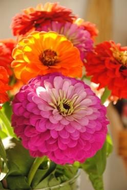 Zinnias, the most spectacular summer flowers.  These wonderful flowers remind me of summers as a child.: Zinnias, Color, Gardens, Flower Power, Beautiful Flowers, Summer Flower, Favorite Flower