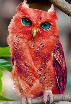 ღღ Very Rare Red Owl: Red Owl, Colorful Owl, Red Animal, Madagascar Red, Owl Photo, Owls, Real Owl