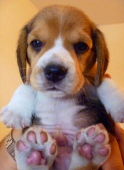 10 Most Loyal Dog Breeds of All times: Puppy Paws, Animals, Dogs, Beagle Puppie, Pet, Puppys, Beagles, Box, Baby
