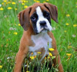 10 Surprising Facts About Boxer Dogs: Boxer Pup, Boxers Dogs And Puppies, Sweet, Boxer Dogs And Puppies, Animals Dogs Chloe, Dogs Boxerlover, Pet, Boxer Dogsd