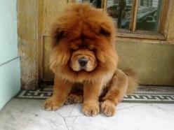 12 Reasons Why Chow Chows Are Underrated!: Animals, Dogs, Pets, Puppy, Chowchow, Chow Chow Puppies, Furry Friends