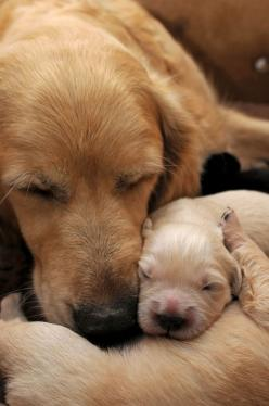15 Heart-Melting Mom And Pup Portraits: Animals, Sweet, Dogs, Golden Retrievers, Baby, Heart Melting Mom, Friend