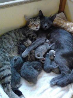 """2 mamas and their babies... """"It takes a village..."""": Cats, Animals, Kitten, Kitty Cat, Sweet, Baby, Happy Family, Families"""