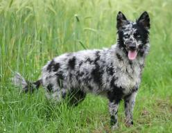 27 Exotic Dog Breeds You Won't See In Your City. #3 Is Huge - Omgfacts - The World's #1 Fact Source: Animals, Dogs, Exotic Dog, Mudi Dog, Friend, Dog Breeds