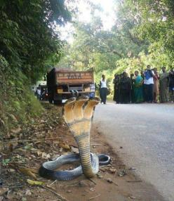 3 Headed Cobra.: Animals, Nature, Stuff, Headed Cobra, Wtf, Snakes, Photo