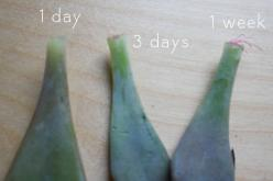 3. When you see those cute little roots like the one on the far right, you're ready to plant! Whip yourself up with a pot that has the succulent potting mix that I talked about here (see step 4).  4. Plant your leaf as shallowly as you can without it fall