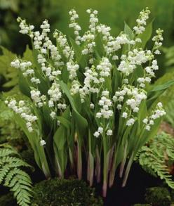 """An all-time favorite perennial. The sweet scent of Lily-of-the-Valley will fill the garden in early spring. Each stem produces as many as 25 blooms. Easy to grow in shady areas, but will also thrive in partial sun."": Valley Flower, White Flowers,"