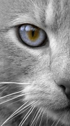 """Cats' eyes seem to be a bridge to a world beyond the one we know."" --Lynn Hollyn: Cats, Grey Cat, Beautiful Cat, Kitty Cat, Cat Eyes, Feline, Animal"