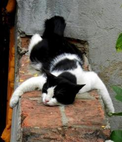 """""""I am sooooo tired. Please just let me sleep.""""  My cat would do this and it looks just like him!: Kitty Cats, Kitten, Animals, Cat Nap, Pets, Funny, Kitties, White Cat"""