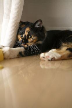 """""""It is hard to concentrate on the work at hand when a kitten is playing at your feet."""" --Jo Kittinger: Kitty Cats, Beautiful Cat, Kitten, Animals, Pretty Cat, Calico Cats, Calico Kitty"""
