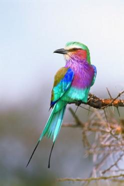 """""""Jewel of the Serengeti"""" -   Serengeti National Park, Tanzania. Be-dazzling the muted hues of the dusty East  African plains is this lilac breasted roller by Thomas D. Mangelsen: Jewel, Beautiful Birds, Thomas Mangelsen, Animal"""