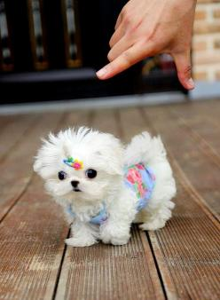 "* * "" Pleeze takes me inside. I iz out fer all de world to see lookin' like dis ? "": Animals, Dogs, Maltese Puppies, Teacup Maltese, Maltese Puppy, Pets, Puppys"