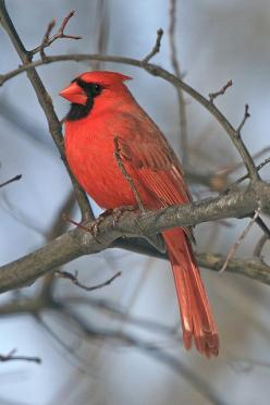 """The Northern Cardinal is the state bird of the most states (7):  Illinois, Indiana, Kentucky, North Carolina, Ohio, Virginia and West Virginia."": Redbird, Northern Cardinals, Cardinals Birds, Beautiful Birds, Animals Birds, Red Birds, Art Photos"