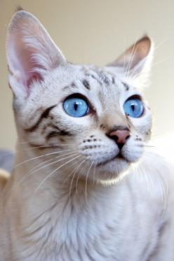 """""""With the qualities of cleanliness,  affection, patience, dignity, and courage that cats have, how many of us, I ask you, would be capable of becoming cats?"""" --Fernand Mery: Kitty Cats, Beautiful Cat, Cat Face, Eyes Cats, Pet, Beautiful Eyes, Blue"""