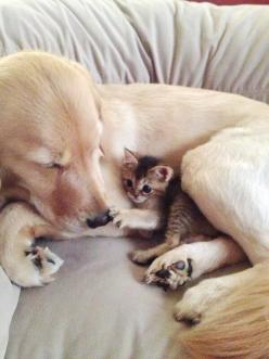 """YES, THIS IS MY LITTLE HUG-A-MUFFIN......WHY DO YOU ASK?.........ccp: Cats, Animals, Best Friends, Sweet, Dogs, Pet, Animal Friends, Golden Retriever"