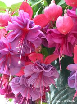 'Charlie Dimmock' - Fuschia    Plant Type	Fuchsia Plants  Plant Habit	Trailing  Flower Size	Large  Flower Quality	Double  Flower Colour	Red   Purple  Plant In	Basket / Sunny position / Part shade  Hardiness	Half hardy  Foliage	Green: Fuchsia Charl