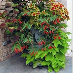 'Florida Sun Jade' coleus, 'Wizard Mix' coleus, Foxtail fern, Bonfire® begonia,  'Margarita' sweet potato vine: Container Garden, Foxtail Fern, Sweet Potato Vines, Sweets, Potatoes, Boliviensis Bonfire, Margarita Sweet, Bonfire Beg