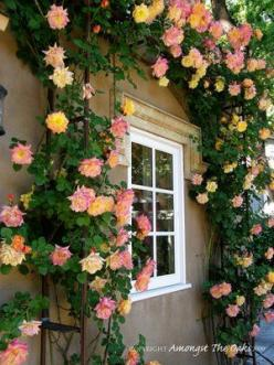 'Joseph's Coat' modern climbing rose: Coat Climbing, Window, Coat Rose, Tea Rose, Climbing Roses, Garden, Josephscoat, Flower
