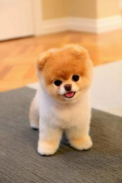 5 Cutest Teacup puppies you have ever seen: Puppies, Animals, Boo, Cutest Dogs, So Cute, Pet, Puppys, Pomeranian