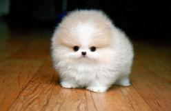 5 Cutest Teacup puppies you have ever seen | Puppy#01: Teacup Pomeranian, Puppies, Animals, Fluffy, Dogs, Pets, Puppys, Pomeranians, Adorable Animal