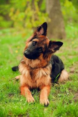 5 Dog Breeds For Single Women  German Shepherd is a very famous and versatile breed. It has got a good reputation because of its services in police and army. These dogs are one of the best proven guard dogs. This large dog (tall and up to about 90 pounds)