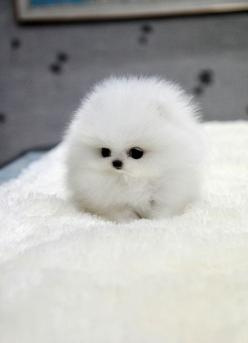 5 fluffiest puppies you have ever seen, this is so adorable :)): Cotton Ball, Animals, Teacup Pomeranian, Dogs, So Cute, Pet, Puppys, Box, Fluff Ball