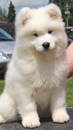 5 Most affectionate dog breeds - The American Eskimo Dog breed is affectionate, loyal, protective, friendly and intelligent dog breed.: American Eskimo Dog, Dogs, Dog Breeds, Animal
